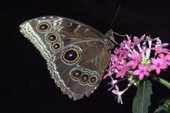 Butterfly at rest. Beautiful butterful resting on a flower stock photos