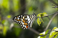 Butterfly rest in leaf Stock Photography
