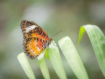 Butterfly at rest Royalty Free Stock Image
