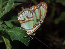 Butterfly resting. Butterfly on a leaf stock photography