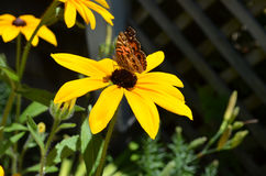 Butterfly Resting on a Black-Eyed Susan Flower stock images