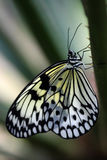 Butterfly Resting on a Branch Stock Photo