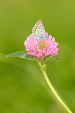 Butterfly is resting on the clover flower Royalty Free Stock Photos