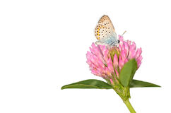 Butterfly is resting on the clover flower Royalty Free Stock Image