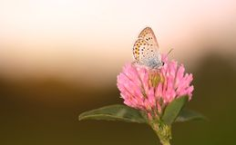 Butterfly is resting on the clover flower Stock Image