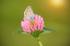 Butterfly is resting on the clover flower Stock Images