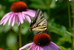 Butterfly Resting on Coneflower Royalty Free Stock Images