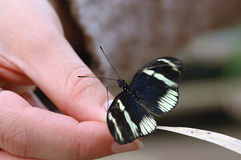 Butterfly resting on fingers. Black and white butterfly resting on human fingers Stock Image