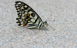 Butterfly. Resting on the floor Stock Photos