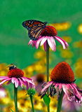 Butterfly resting on flower. A summertime photo of a butterfly resting on a flower Royalty Free Stock Image