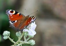 Butterfly resting on flower. European Peacock butterfly (inachis io) resting on flower Stock Images