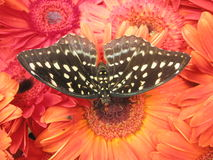 Butterfly. Resting on the flowers Stock Images