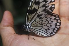 Butterfly resting in hand, Coconut Creek, FL royalty free stock photo