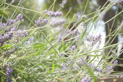Butterfly on Lavender Flower stock photos