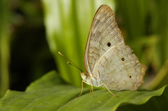 A butterfly resting on a leaf. A white butterfly resting on a leaf Royalty Free Stock Photography