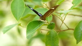 Butterfly is resting on the leaf. Butterfly is resting on the green leaf with the gently wind stock video footage