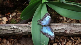 Butterfly resting on orchid. Beautiful butterfly resting on orchid stock video footage