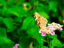 Butterfly resting on a pink and yellow lantana camara flower in the garden stock photo