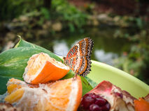 Butterfly resting on a plate of fruit in a botanical garden. Royalty Free Stock Image