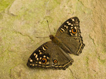 Butterfly resting on rock Stock Image