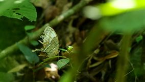 Butterfly resting on the shaken leaf. Butterfly with broken wings is resting on the shaken leaf stock video footage