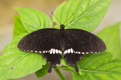 Butterfly resting steadily over the leaves in the park Stock Photography