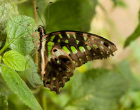 Butterfly resting on tropical leaf Royalty Free Stock Image