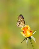 Butterfly resting on yellow rose Royalty Free Stock Photo