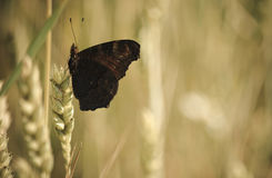 Butterfly rests. After flying over the field Stock Images