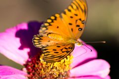 Butterfly rests on a fuchsia flower royalty free stock photos