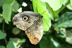 Butterfly rests on a leaf Royalty Free Stock Image