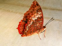 A butterfly rests on the web. Royalty Free Stock Photo