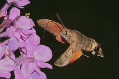 Butterfly reveler ( Macroglossum stellatarum ) Stock Photo