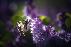 Butterfly rhopalocera on purple flower royalty free stock photos