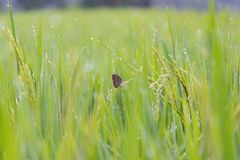Butterfly in the rice field Royalty Free Stock Image
