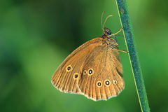 Butterfly - Ringlet (Aphantopus hyperantus) covered morning dew Stock Image