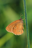 Butterfly - Ringlet (Aphantopus hyperantus) covered morning dew Royalty Free Stock Image