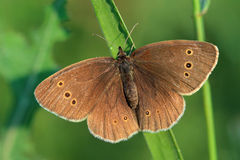 Butterfly - Ringlet (Aphantopus hyperantus) covered morning dew Royalty Free Stock Images