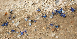Butterfly on the road. Some blue butterfly sitting on a dirt road royalty free stock photo