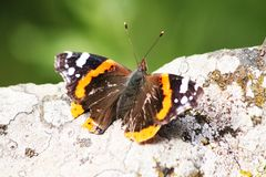 Butterfly on rock Royalty Free Stock Image