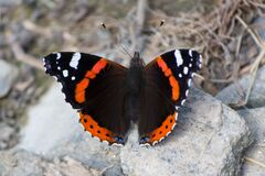 Butterfly on rock Royalty Free Stock Images