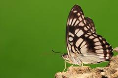 Butterfly on rock, Athyma ranga Stock Image