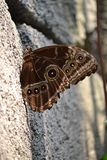 Butterfly on a rock. Brown, beautiful butterfly on a rock at Wildlands Emmen royalty free stock images