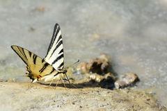 Butterfly on the rock. Close up of colored butterfly on the rock Stock Photos
