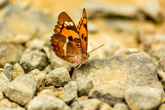 Butterfly on a Rock. A butterfly is comfortable on a rock as it is on a flower Royalty Free Stock Photos