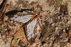 Butterfly on rock, Cyrestis thyodamas Stock Photo