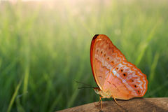 Butterfly on rock and nature background Royalty Free Stock Images