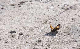 Butterfly on rock surface Stock Photos