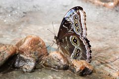 Butterfly on rocks in water Royalty Free Stock Photography