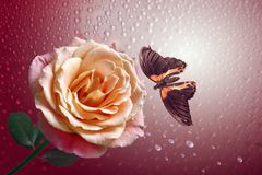 Butterfly and rose with drop. In rain on background of the light stock photos